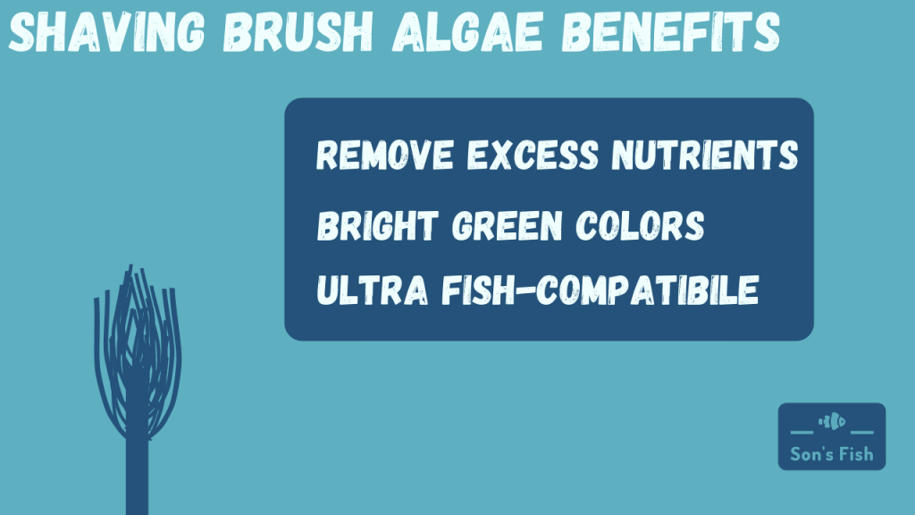Shaving Brush Algae Aquarium Benfits